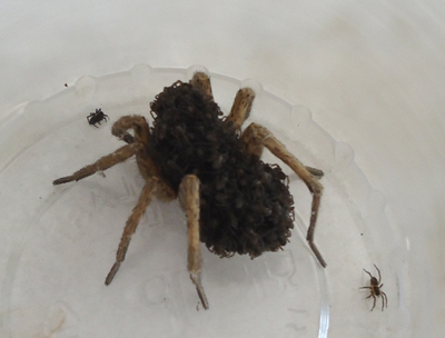 Tarantula Babies on Back Tarantula Carrying Her Babies