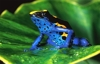 Poison Dart Frog ( As far as I'm informed this photo got taken in the Surinami rainforest. By the way I meanwhile added a fanfiction as a tribute to rainforest in general to my comments under this photo. )