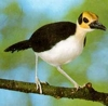 This Bird Is Sitting On A Tree In The Rainforest Of Sierra Leone.