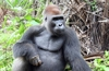 Gorilla Relaxing in the Rainforest of Cameroon (Thanks To Wiki People Are Allowed To Use This Photo For Any Purpose!)