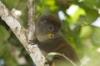 Gentle Lemur in the Rainforest of the Comoros
