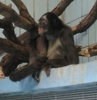 Brown spider monkey - Nearly Extinct (Wikipedia Allowed Me To Use This For Any Purpose I Wish!)